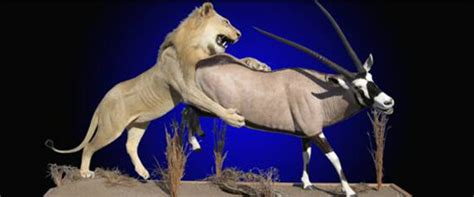 Kudu Pedestal Mount African Taxidermy Mounts Amp African Lion Taxidermy By Mayes