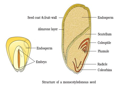 diagram of monocot seed seed