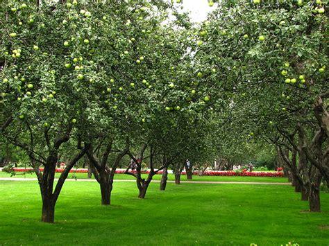 apple orchard file apple orchards in kolomenskoye 21 jpg wikimedia commons