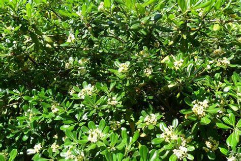 pitosforo in vaso pittosporo pittosporum pittosporum piante da