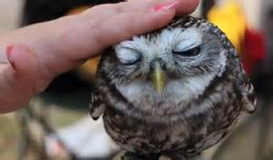 still want that kitten the adorable baby owl who loves