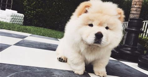 puppy instagram justin bieber s criminally fluffy puppy todd has a new instagram account