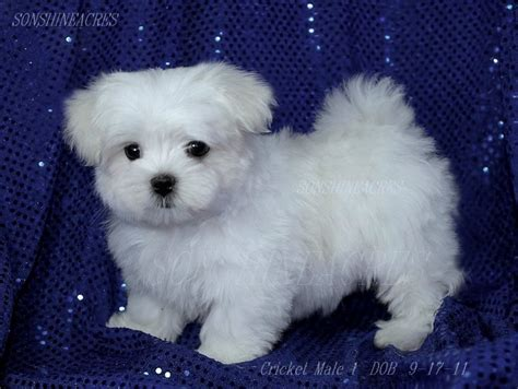 maltese puppy help help me identify this maltese