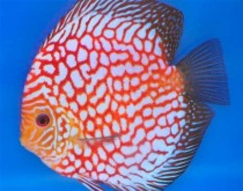 Ikan Discus White Uk 2 cheshire oaks discus of current stock at