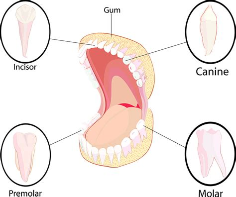 diagram of types of teeth diagram of different types of teeth gallery how to guide