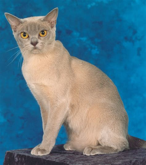 Inidia Cat 27 purebred burmese cats alliance