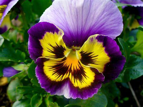 imagenes de flores llamadas pensamientos sembrando pensamientos