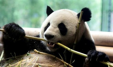chinese firm turns panda poop  toilet paper daily mail
