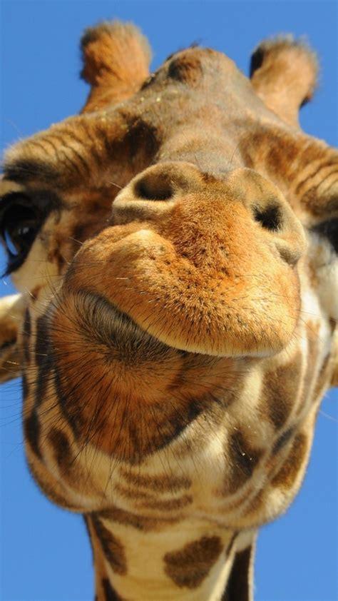 giraffen abschluss oben handy logo kostenlos