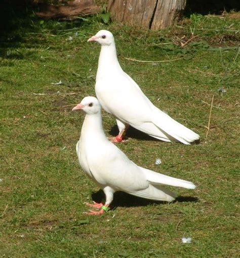 white pigeon vs dove