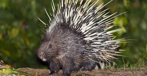 porcupine search
