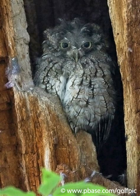 screech owl molting photo golfpic photos at pbase com