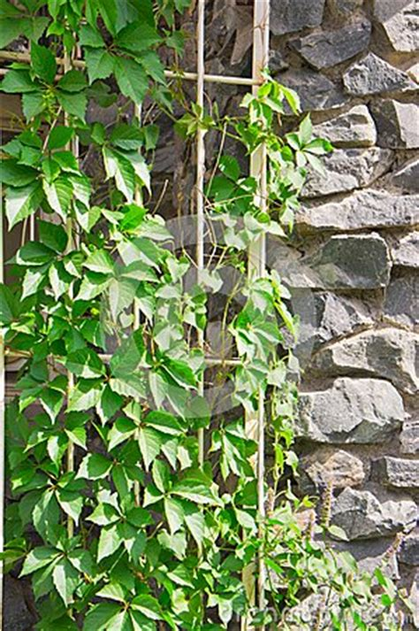 green climbing plants climbing plant on the rock wall royalty free stock photos