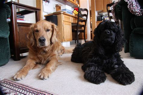 golden retriever and cocker spaniel golden retriever cocker spaniel mix black