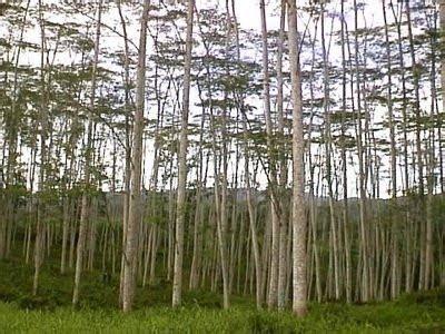 Harga Bibit Sengon Saat Ini berkebun emas hijau cara budidaya sengon dan