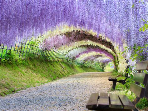 wisteria tunnels tokyo beautiful wisteria tunnel in japan my top10 japan