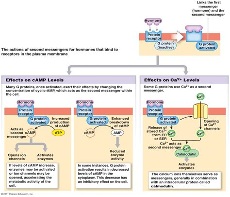 simple diagram of to label simple endocrine system diagram to label modernheal