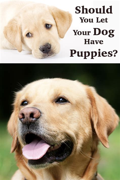 how many puppies do dogs labrador should you let your puppies