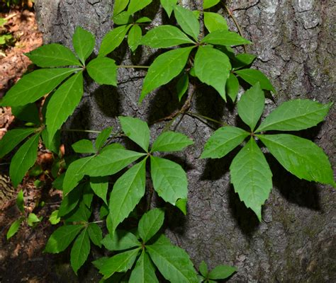 although the national park service recommends the virginia creeper as a ask an expert