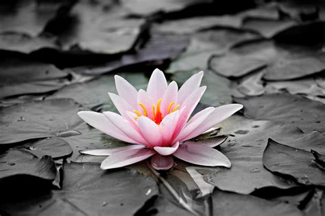 pink and white lotus flower 183 free stock photo