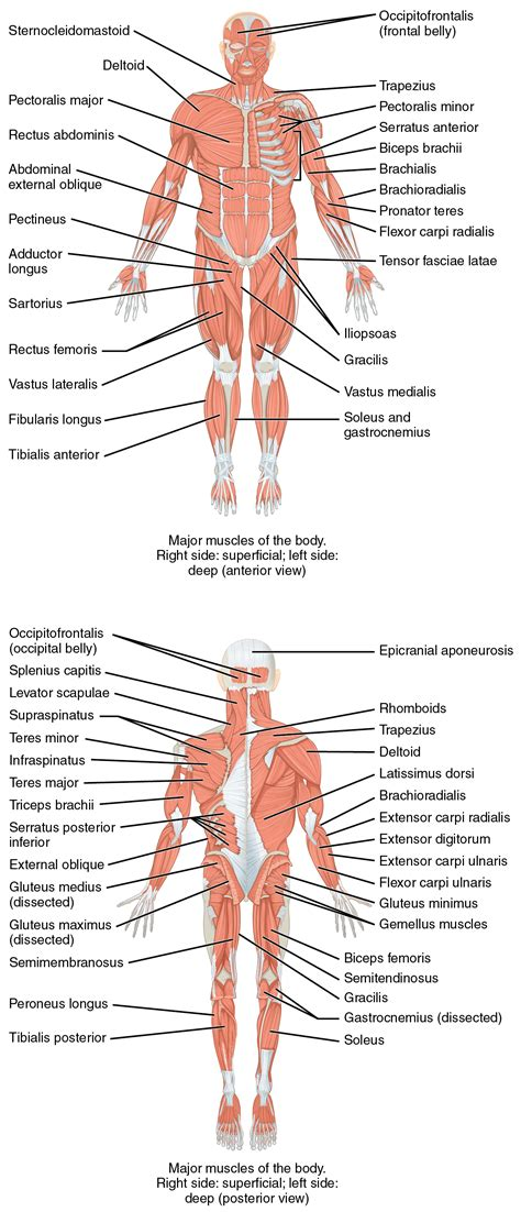 naming skeletal muscles anatomy  physiology
