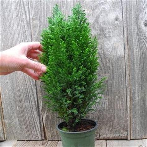ellwood s blue cypress a miniature christmas tree keep