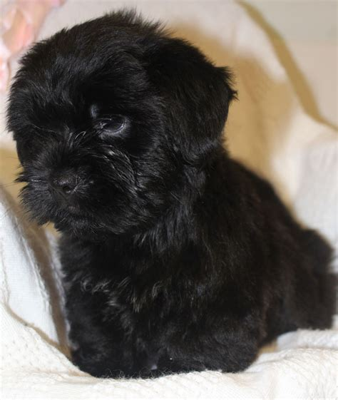shih tzu terrier puppies ready now shih tzu x terrier puppies orpington kent pets4homes