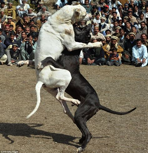 dogs fighting pitbull fights to the breeds picture