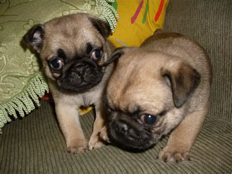 pug breeders queensland for sale bred pug puppies