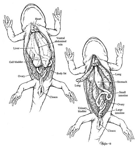 Famous Salamander Internal Anatomy Ensign Internal Organs Diagram