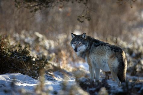 imagenes hd lobos wallpapers lobos en hd im 225 genes taringa
