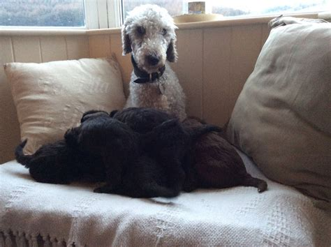 bedlington terrier puppies for sale beautiful bedlington terriers pups for sale pontypool torfaen pets4homes