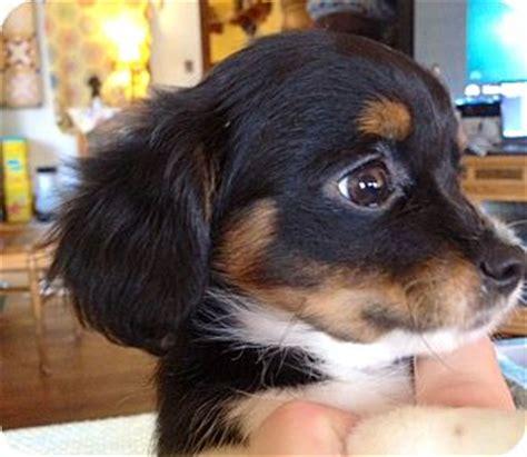 dachshund puppies ct dachshund pekingese breeds picture