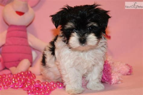 morkie poo puppies for sale tiny yorkie puppies for sale west coast dogs and puppies junk breeds picture