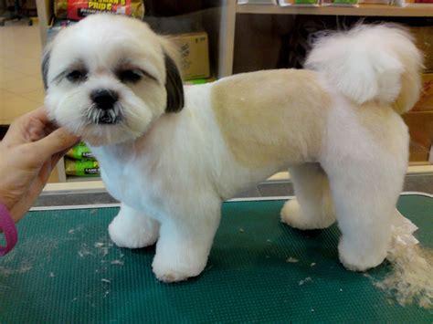 hair cut shih tzu snd poodle top 6 shih tzu haircuts shih tzu daily