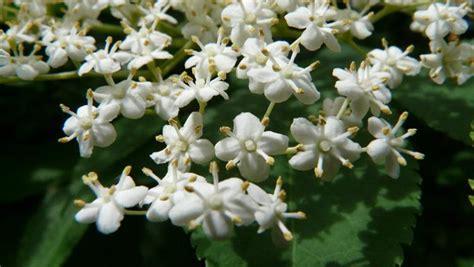 fiori di sambuco proprietà fiori di sambuco riconoscimento propriet 224 e usi in