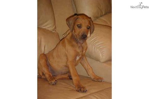 rhodesian ridgeback puppies price rhodesian ridgeback puppy for sale near amarillo 327ef4a1 53d1