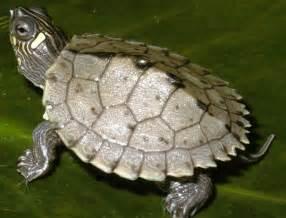 juvenile mississippi map turtles graptemys pseudogeographica