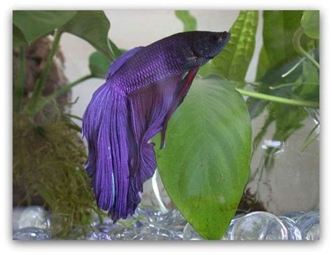 pet fish with longest life span betta fish life expectancy the pet blog lady celebrating our
