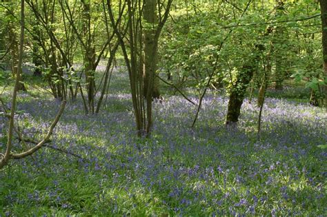 woodland forest plants and trees bluebells woodland 02