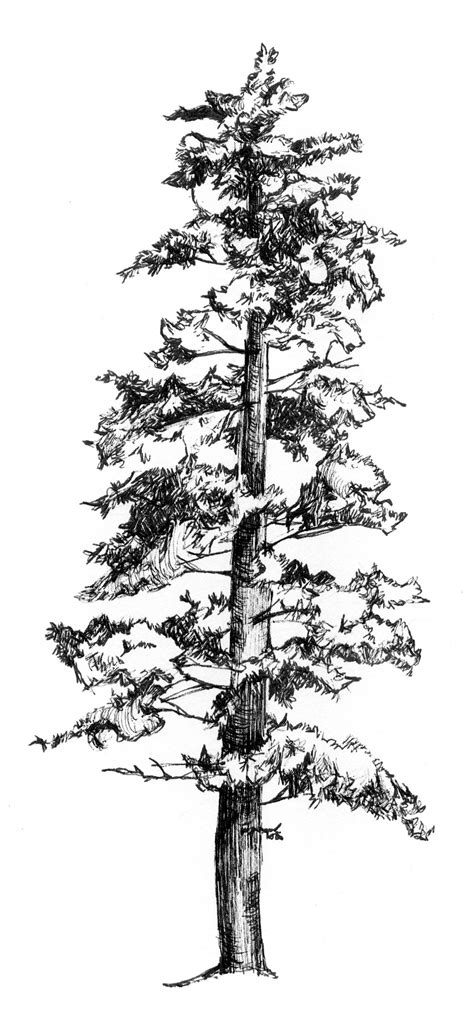 pine tree sketches drawn fir tree pen and ink pencil and