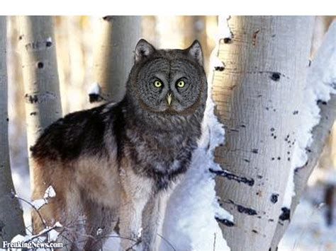 Owl Wolf by Wolf Owl Pictures Freaking News