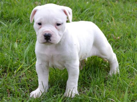 American Bulldog Shedding by Pictures Bulldog Breed Breeds