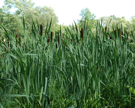 Cattail L by Typha Latifolia Umass Amherst Landscape Nursery Forestry Program