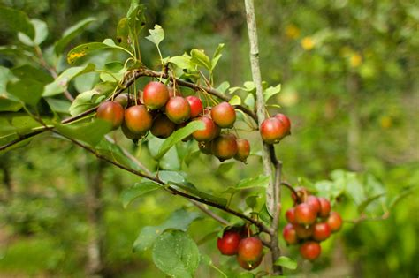 nc fruit trees preserving time southern apples wunc