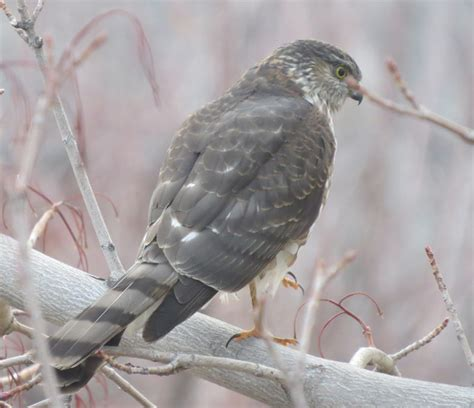 front side back juvenile juv back eating close ups close ups 2 flying cooper s hawk