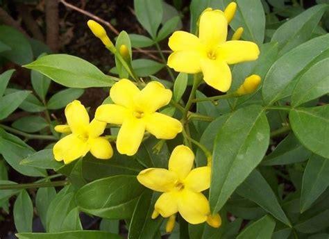 gelsomino giallo in vaso il gelsomino giallo generalit 224 giardino il gelsomino