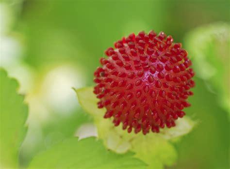 Garten Pflanzen August ziererdbeeren im august pflanzen garten news garten