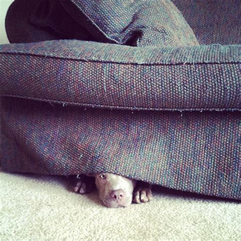 under the couch pup hiding under the couch animals pinterest
