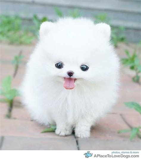 white fluffy teacup pomeranian puppies fluffy white teacup pomeranian puppy did i mention it s fluffy
